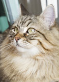 Male siberian cat outdoor Stock Photos