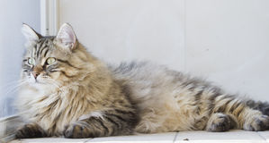 Male siberian cat outdoor Stock Image