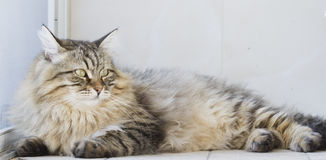 Male siberian cat outdoor Royalty Free Stock Photo
