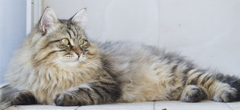 Male siberian cat outdoor Stock Images