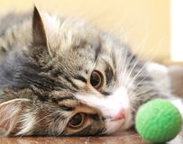 Male of siberian cat plays with a ball Royalty Free Stock Photo