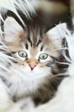 Male of siberian cat,puppy version brown. View of a puppy cat of siberian breed, version brown tabby Stock Images