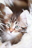 Male of siberian cat,puppy version brown. View of a puppy cat of siberian breed, version brown tabby Stock Photos