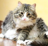 Male of siberian cat. View of a great cat of siberian breed, version brown tabby with white Royalty Free Stock Photo