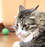 Male of siberian cat. View of a great cat of siberian breed, version brown tabby with white Stock Photography