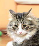 Male of siberian cat. View of a great cat of siberian breed, version brown tabby with white Stock Image