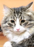 Male of siberian cat. View of a great cat of siberian breed, version brown tabby with white Royalty Free Stock Images