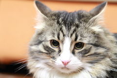 Male of siberian cat Stock Image