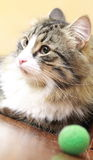 Male of siberian cat. View of a great cat of siberian breed, version brown tabby with white Stock Photo