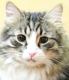 Male of siberian cat Stock Photography