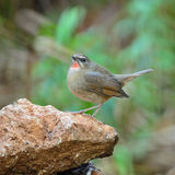Male Siberian Rubythroat. Beautiful brown bird, male Siberian Rubythroat (Luscinia calliope), standing on the rock, breast profile Royalty Free Stock Photos