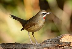 Male Siberian Rubythroat Luscinia calliope. Beautiful male Siberian Rubythroat Luscinia calliope standing on ground Stock Images