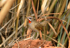 Male Siberian Rubythroat (Luscinia calliope). Beautiful male Siberian Rubythroat (Luscinia calliope) standing on ground Stock Photos