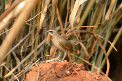 Male Siberian Rubythroat (Luscinia calliope). Beautiful male Siberian Rubythroat (Luscinia calliope) standing on ground Royalty Free Stock Images