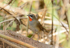 Male Siberian Rubythroat (Luscinia calliope). Beautiful male Siberian Rubythroat (Luscinia calliope) standing on ground Stock Image