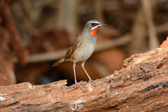 Male Siberian Rubythroat (Luscinia calliope). Beautiful male Siberian Rubythroat (Luscinia calliope) standing on ground Royalty Free Stock Photo