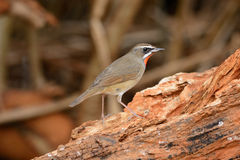 Male Siberian Rubythroat (Luscinia calliope). Beautiful male Siberian Rubythroat (Luscinia calliope) standing on ground Royalty Free Stock Image