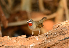 Male Siberian Rubythroat (Luscinia calliope). Beautiful male Siberian Rubythroat (Luscinia calliope) standing on ground Stock Photography