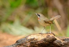 Male Siberian Rubythroat (Luscinia calliope). Beautiful male Siberian Rubythroat (Luscinia calliope) standing on ground Royalty Free Stock Photography