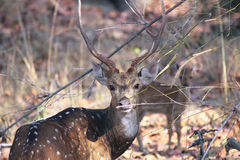 Male sika deer. A Male Sika Deer at Bandhavgarh Forest, Madhya Pradesh, India Stock Photo
