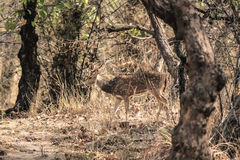 Male sika deer. A Male Sika Deer at Bandhavgarh Forest, Madhya Pradesh, India Stock Images