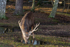 Male sika deer drinking. Male sika deer with big antlers drinking water in the forest Stock Images