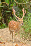 Male sika deer. In the forest Stock Image