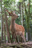 Male sika deer Royalty Free Stock Photos