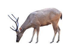 Male sika deer isolated. Male sambar deer isolated on white background Stock Photo