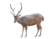 Male sika deer isolated. Male sambar deer isolated on white background Stock Photos
