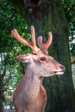 Sika deer in Nara Park forest, Japan. Male Sika deer in Nara Park forest, Japan Stock Photos