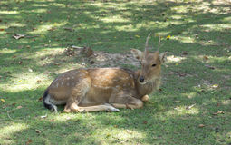 Male sika deer. In nature park Royalty Free Stock Images