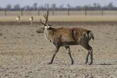Male sika deer with a wound on his side going through the autumn. Steppe Stock Photography
