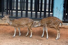Male sika deer. In the zoo Stock Photos