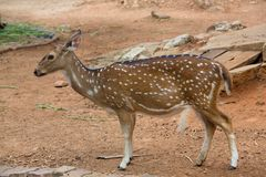 Male sika deer Royalty Free Stock Images