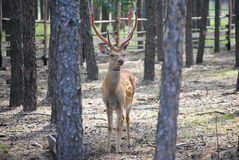 Male sika deer. In the zoological garden in Voronezh, Russia Stock Images