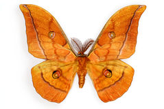 Male Silk Moth Antheraea yamamai Royalty Free Stock Photography