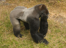 Male Silvarback Gorilla Royalty Free Stock Photo