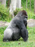 Male silver-back gorilla Stock Image