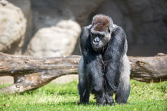 Male silver back gorilla. Sitting on grass Royalty Free Stock Photos