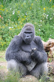 Male Silver back Western Lowland Gorilla sat eating Royalty Free Stock Image
