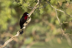 Male Silver-Beaked Tanager on Gnarled Tree Branch. A crimson and black bird, this male Silver -Beaked Tanager with whitish-silver mandible sits on a gnarled tree Royalty Free Stock Photography
