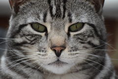 Male Silver & Black Bengal Cat Stock Photo