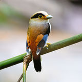 Male Silver-breasted Broadbill Royalty Free Stock Photo