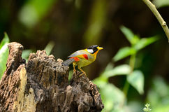 Male silver-eared mesia Stock Images