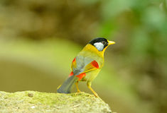 Male silver-eared mesia Stock Photography