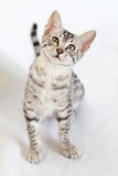 Male silver Egyptian Mau kitten on a white  backgr. A front-facing male silver Egyptian Mau kitten tilts his head with interest on a white background. His fur is Royalty Free Stock Photos