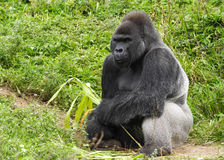 Male Silver Gorilla. An image of a male silver back gorilla sitting holding a piece of bamboo Stock Photo