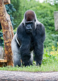 Male silver gorilla. Male silver big gorilla standing on the grass Stock Photo