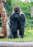 Male silver gorilla Stock Photo